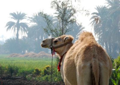 Uno de los camellos de Klaus junto al Marsam.