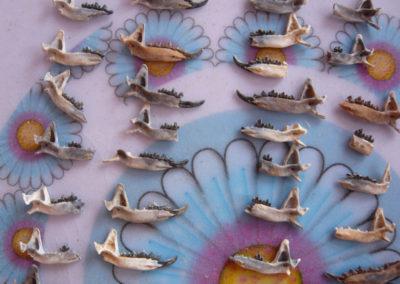 Colección de mandíbulas de musaraña.
